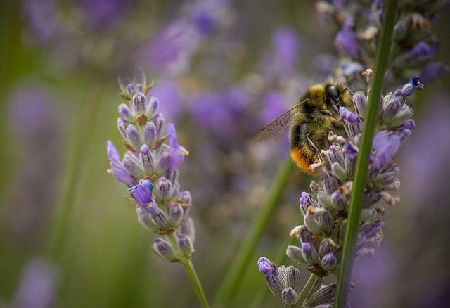 wpid-Lavender_bee_72_640.jpg