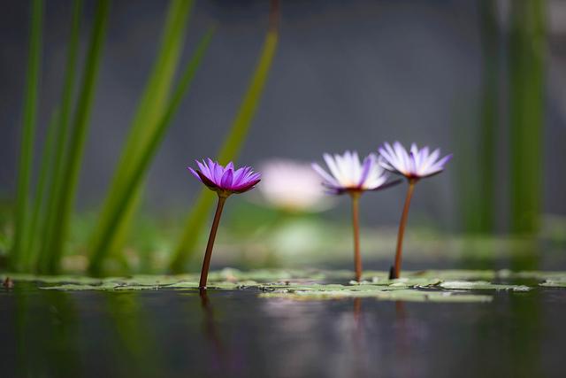 Lotus_Flowers_49_640.jpg