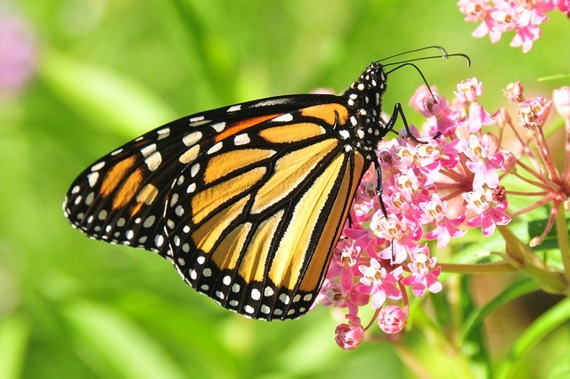 monarch_butterfly_957784_640_640.jpg